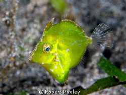 Diamond Filefish (juvenile) - 20 ft in front of Anilao Ci... by Robert Pooley 